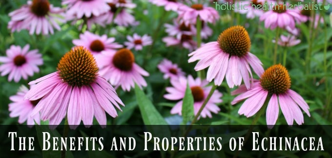The Benefits and Properties of Echinacea